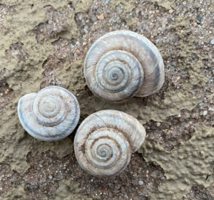 Three spiral shells